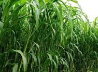 HEKİMHAN - Büyükşehir'den Çiftçilere Yem Bitkileri Üretimi Desteği
