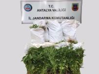 DÜZAĞAÇ - Manavgat'ta Hint Keneviri Operasyonu