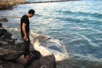 BALINA - Nesli Tükenmekte Olan Dev Balina Arsuz'da Kıyıya Vurdu