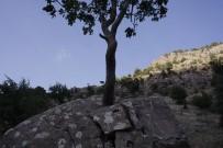 BEYTÜŞŞEBAP - Ağaç, Dev Kayayı İkiye Böldü