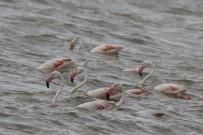 VAN GÖLÜ - Flamingolar Van'a Geldi