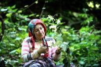 YENIKÖY - Dünyanın En Büyük Ihlamur Ormanında Hasat Başladı
