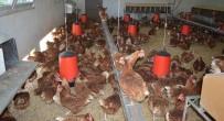 ORGANİK YUMURTA - Ordu'da Haftada 150 Bin Yumurta Üretiliyor