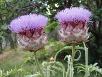 Karaciğere Faydalı Olan Bitkiler