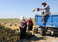 MEHMET AKıN - Adana'da Kavun Hasadı Başladı