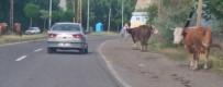 Başıboş Hayvanlar Sürücülere Zor Anlar Yaşatıyor