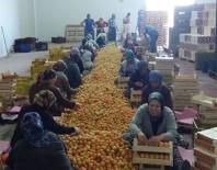 MUSTAFA YıLDıZ - Mut'ta Kayısı Üreticisi Altın Yılını Yaşıyor
