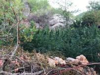 Antalya'da 280 Kök Kenevir Ele Geçirildi