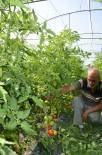 ORGANİK SEBZE - Darende'de Yerli Domates Tezgahlardaki Yerini Aldı