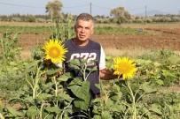 ORGANİK SEBZE - Datça'da İlk Yerel Tohum Hasadı Yapıldı
