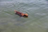 ALıŞKANLıK - Sıcaktan Bunalan Köpek, Kendini Denize Attı