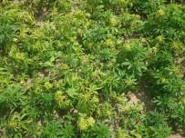 KARAHALIL - Pancar Ve Ayçiçeği Tarlalarında Zehir Yetiştiriyorlardı