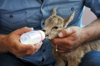 Yaralı Yavru Dağ Keçisi Biberonla Besleniyor