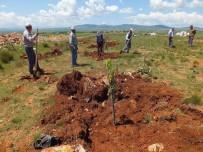 HÜRRİYET MAHALLESİ - Aslanapa'a Ağaçlandırılıyor