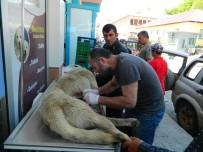 İSMAİL DEMİR - Posof'ta Köye Gelen Ayı Köpeği Yaraladı