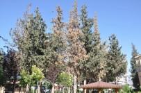 FEROMON - Kabuk Böceğinin Kuruttuğu 29 Çam Ağacı Kesilecek