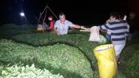 Sıcaklıklar Artınca Rize'de Çay Üreticisi Çayını Gece Toplamaya Başladı