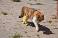 PROTEZ BACAK - Bacakları Kopan Hamile Kedi Protez Bacakları İle İlk Adımını Attı