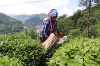 SÜRGÜN - Rize'de 2017 Yılı İkinci Sürgün Yaş Çay Hasadı Başladı