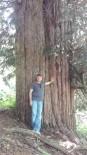 FILYOS - Türkiye'nin En Yaşlı Dünyanın 4. Yaşlı Ağacının Tanıtımını Vali Çınar Yapacak