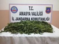 KıZıLCA - Jandarma Bunları Serada Buldu