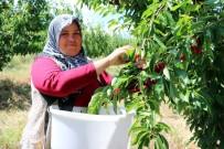Türkiye'nin En Büyük Meyve Bahçesinde Kiraz Hasadı Başladı