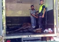 SARIYER - Bahçe Duvarından Düşen Atı Vatandaşların Çabası Kurtardı