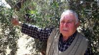 ZEYTİN YAĞI - Kilis'te Aşırı Soğuklar Ve Kuraklık Zeytini Vurdu