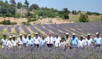 PAMUKKALE - Denizli'de Tıbbi Ve Aromatik Bitkiler Hasat Günü Yapıldı