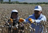 SENTETIK - Afyonkarahisar'da Haşhaş Hasadı Başladı