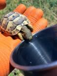 GÖKTEPE - Susayan Kaplumbağaya Kendi Bardağından Su İçirdi