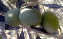 İSMAIL ACAR - Zeytincilik Sektörünün Ortak Talebi Sofralık Zeytine Prim