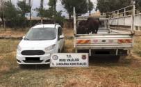 BÜYÜKBAŞ HAYVAN - Hayvan Hırsızları Yakalandı