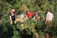 GÜBRE - Jandarma Ormanda 348 Kök Kenevir Ele Geçirildi