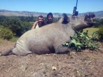 LEON - Lüksemburglu Avcılar Tokat'ta 350 Kilo Ağırlığında Domuz Avladı