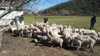 SÜRÜ YÖNETİMİ - Aydın'da 'Sürü Yönetimi Kursu' Düzenleniyor, Artık Çobanlar Da Ehliyetli Olacak