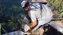 MERSIN - Aydın'da Tatlı Sulara, Yavru Sazan Bırakıldı