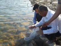 TARIM VE HAYVANCILIK BAKANLIĞI - Denizli'de 122 Bin Sazan Su İle Buluşturuldu