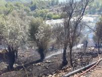 ZEYTİN AĞACI - Anamur'da Zeytinlik Yangını Korkuttu