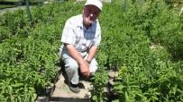 OBEZİTE - Burhaniye Şeker Otu Üretim Merkezi Oldu