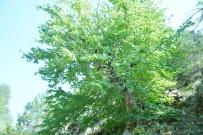 Uşak'taki Bulkaz Dağları Asırlık Fındık Ağaçlarına Ev Sahipliği Yapıyor