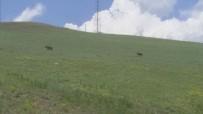 BAYRAM TATİLİ - Ağrı'da Domuzlar Yerleşim Alanlarına İndi