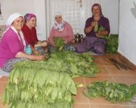 İSMAİL YILMAZ - Aydın'da Tütün Kırımı Başladı