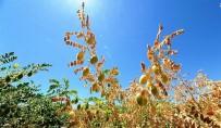 YUNANISTAN - Büyükşehirden Nohutta Üretimi Artıracak Proje