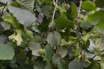 SÜRGÜN - Fındıkta Yaprak Tahlili Uyarısı