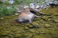 KANYON - Koruma Altındaki Kızıl Geyik, Boynuzları İçin Vuruldu