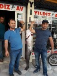 AMATÖR BALIKÇI - 44 Kiloluk Yayın Balığı Yakaladılar