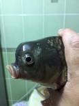 AHMET TÜRK - Bu Balık Görenleri Şaşırtıyor