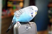 MUHABBET - Muhabbet Kuşu Fıstık'ı Yanından Hiç Ayırmıyor