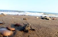 KAZANLı - Yavru Deniz Kaplumbağaları Denizle Buluştu